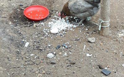 Kippen aangeschaft